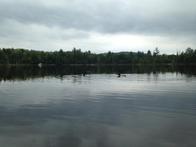 Loons on Kidney Pond