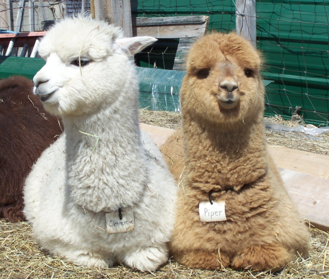 Abbott Farm Alpacas