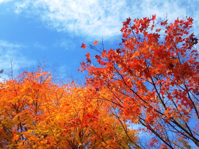 Maple fall foliage and blue sky in Maine